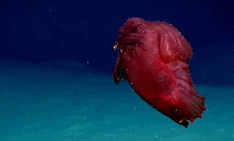 """深海拍到诡异""""外星生物"""":像被切掉头的鸡在游泳(现场)"""